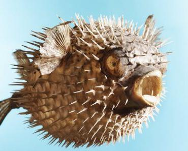 Taxidermal inflated puffer fish