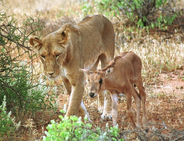 Lioness and Baby Deer 0