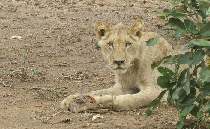 Lioness and Baby Deer 1