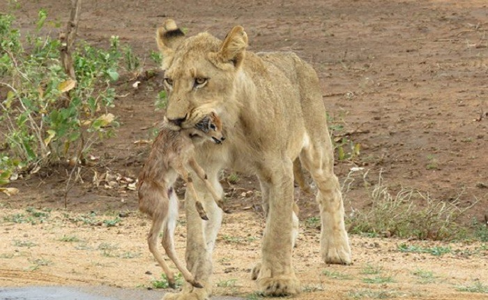 Lioness and Baby Deer 11