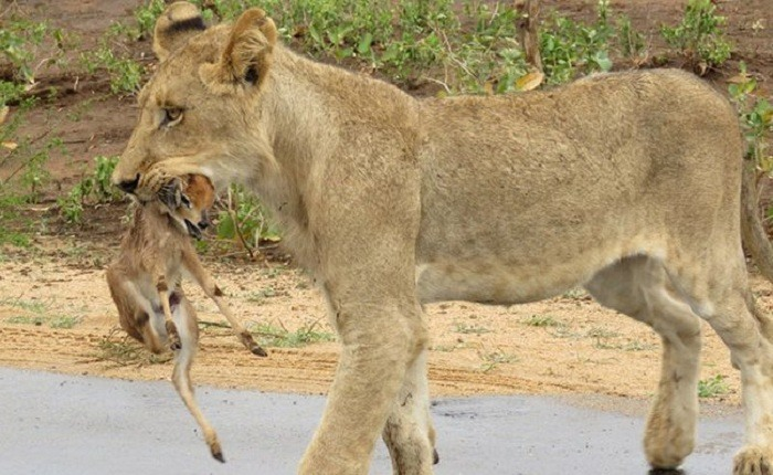 Lioness and Baby Deer 12