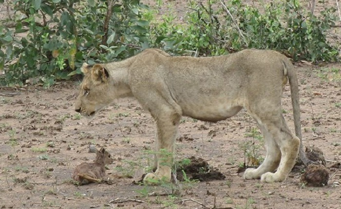 Lioness and Baby Deer 13