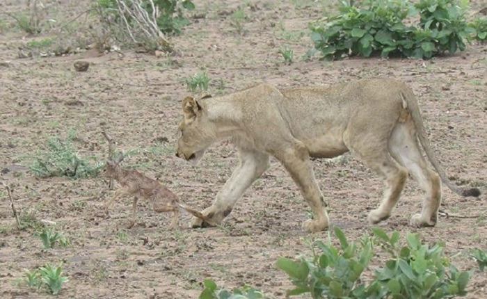 Lioness and Baby Deer 14