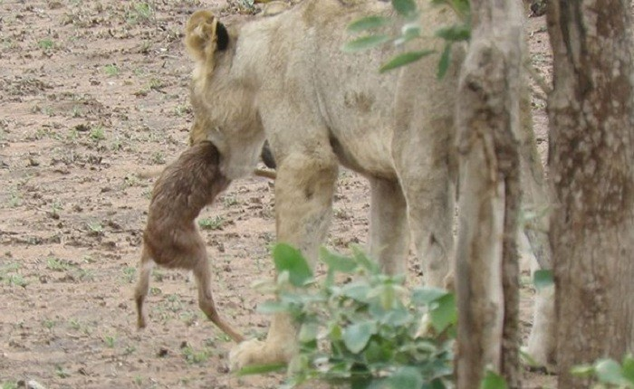 Lioness and Baby Deer 15