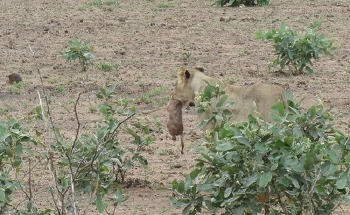 Lioness and Baby Deer 16