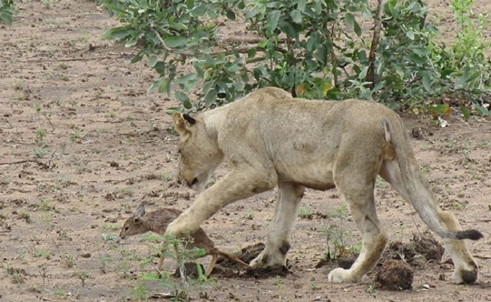Lioness and Baby Deer 17