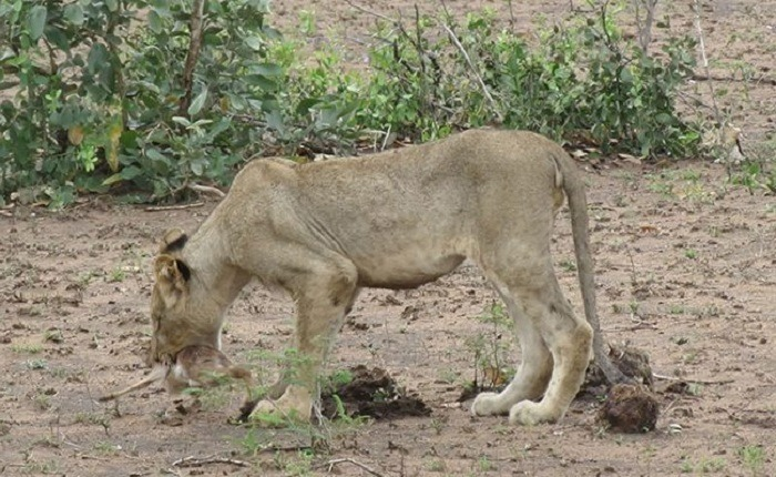 Lioness and Baby Deer 19