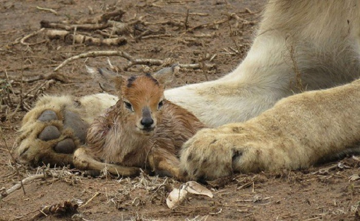 Lioness and Baby Deer 2