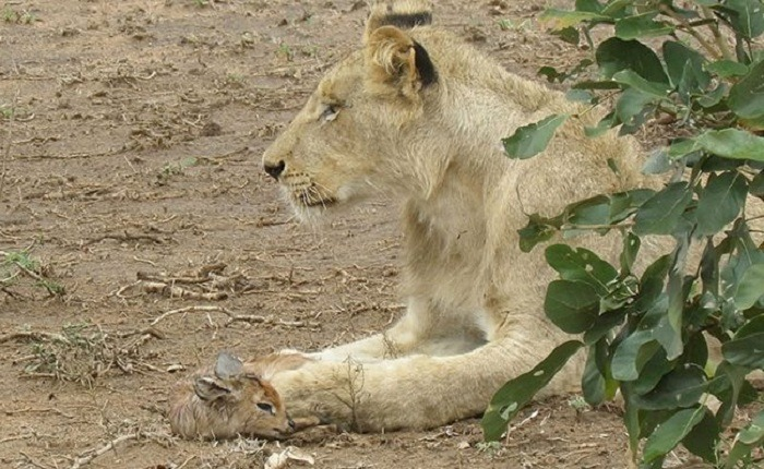 Lioness and Baby Deer 3