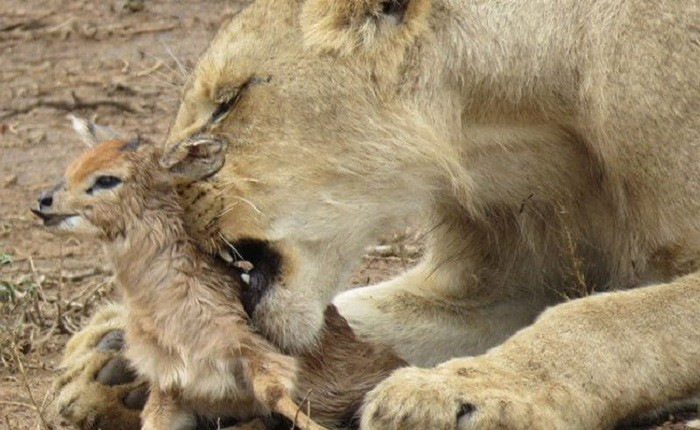 Lioness and Baby Deer 6
