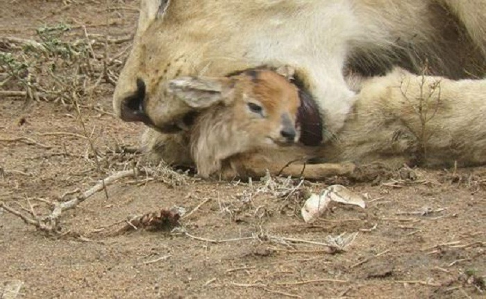 Lioness and Baby Deer 7