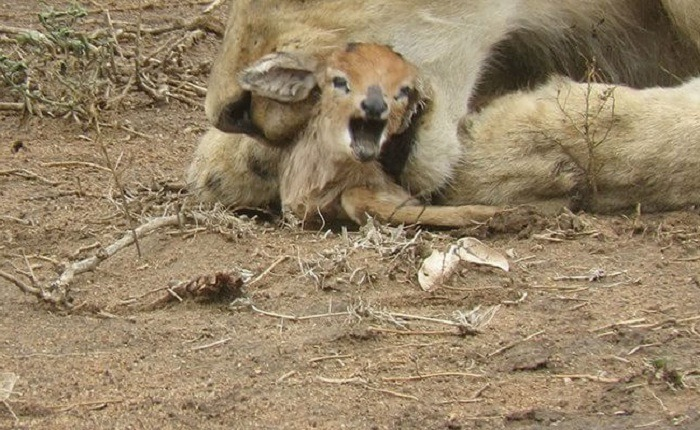 Lioness and Baby Deer 8