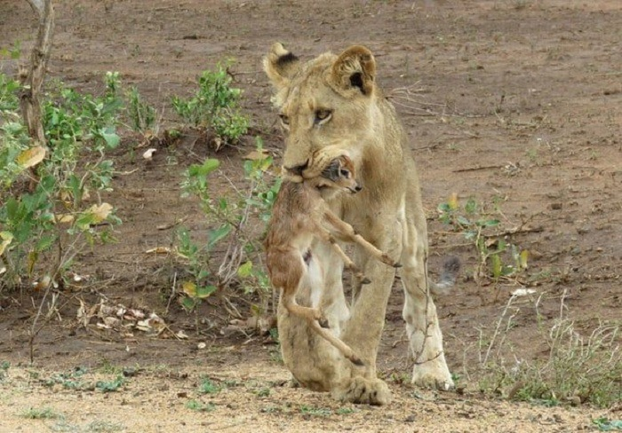 Lioness and Baby Deer 9